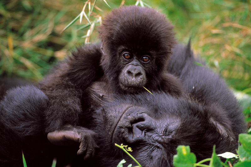 Gorille des montagnes au Parc des Virunga
